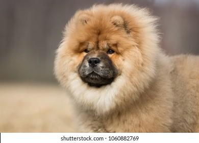 6.005 hình ảnh về con chó Chow Chow, kích thước độ phân giải cao tuyệt đối