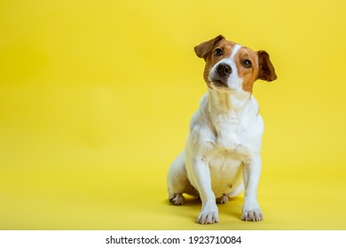 Dog pet jack russell terrier on yellow background