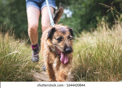 Dog and pet owner walks outdoors. Mixed breed terrier on footpath. Woman enjoying hiking with her dog in nature