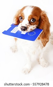 Dog with pet passport immigrating or ready for a vacation. King Charles spaniel carry animal id passport. Dog passport concept isolated on white background. Cavalier spaniel studio photo illustration.