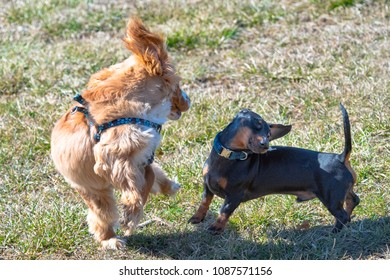 Dog pets playing in public park at the beginning of Spring. There is a cocker spaniel and a Dachshund