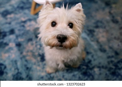 Dog photo shoot at home. Pet portrait of West Highland White Terrier dog enjoying and resting on floor and blue carpet at house. Colin Westie Terrier a very good looking dog posing in front of camera.