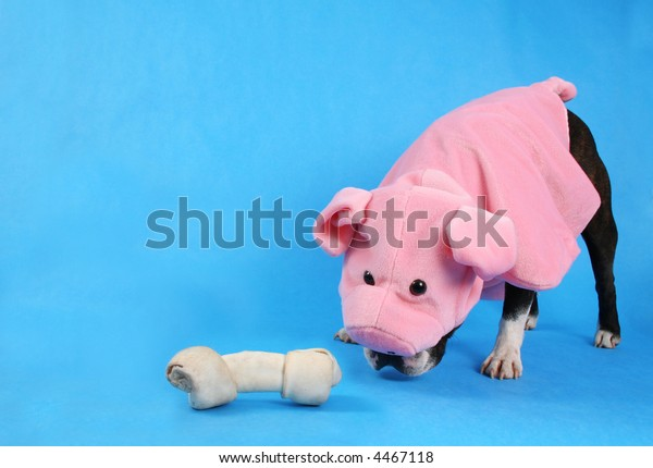 a dog with a pig costume on sniffing a bone