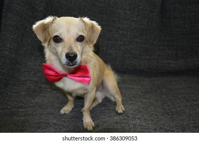 Dog in Pink Bow Tie