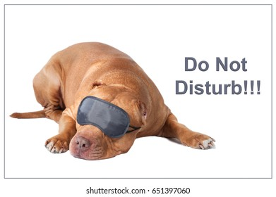 Dog pit bull in sleeping mask, isolated. There is no hurry, do not rush, do not panic, do not touch, no hurry, wait and see