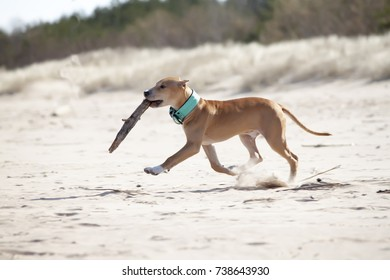 The dog of a pit bull terrier plays in the beach