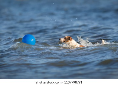 Dog play ball in sea water with splash