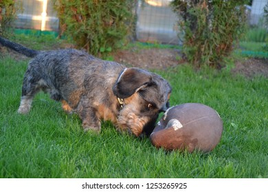 a dog playing with an american football