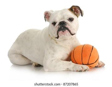 dog playing ball - english bulldog laying with stuffed basketball on white background