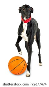Dog playing ball - Greyhound dog, 18 months old,  with basketball on white background