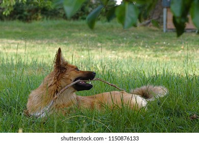 Dog playing with a branch on the meadow