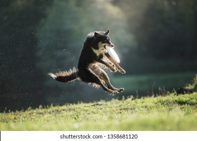 the dog is playing with the disc in nature. Active and funny black border collie, pet plays