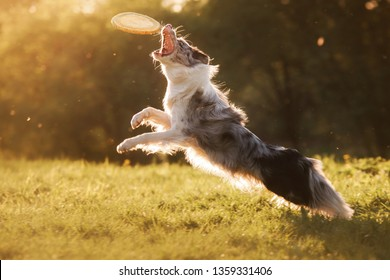 the dog is playing with the disc in nature, sunset. Active and funny border collie, pet plays
