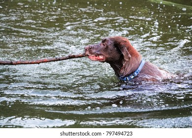 A dog playing fetch in the water with a large stick