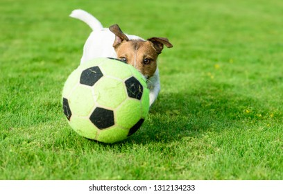 Dog playing football with soccerball on green grass turf