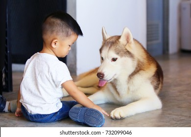 Dog playing with kid in living room. Siberian Husky play together with Asian boy