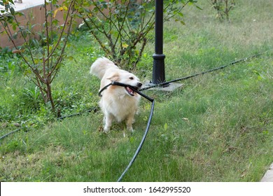A dog is playing at lawn by biting black water hose