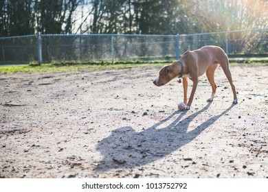 Dog Playing at Dog Park