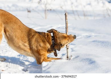 Dog playing and retrieving a stick in winter park