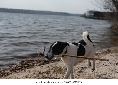The dog is playing with a stick in the water. A dog swims in a river on the shore.