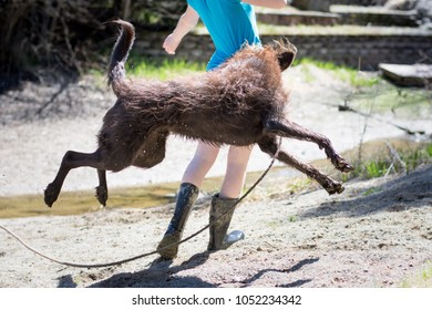 Dog playing with teen while the waters down in the spring. Dog jumping and overexcited, leaps up and grabs teens shirt.