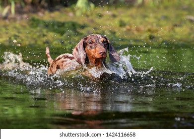 dog Playing in water, dachshund puppy dog swim in the river
