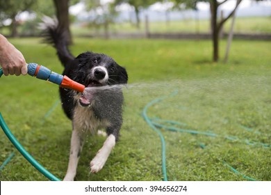 A dog playing with water from a garden hose.