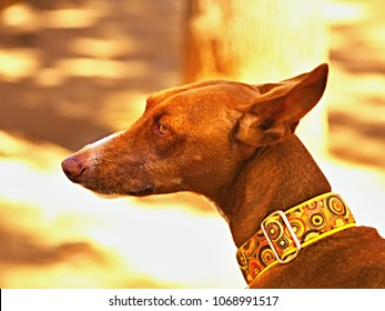 a dog, a Podenco Canario close up of the face and neck. Golden brown smooth and short coat, on the neck a wide greyhound collar in yellow tones. The background is soft and with bookeh