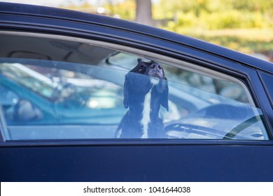 dog pokes its muzzle out of the car window. black labrador looking through car window