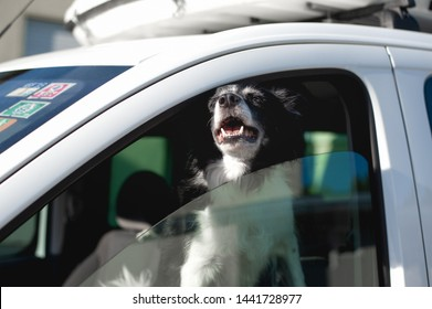 Dog pokes its muzzle out of the car window. Black and White Border Collie in car in hot summer.