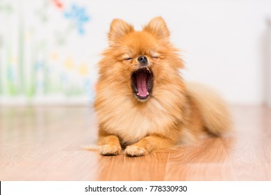 The dog of the Pomeranian dog breed lies on the floor, stretching its paws in front of him and yawning