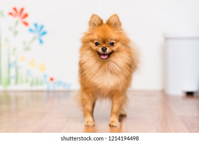 Dog of the Pomeranian breed Spitz Standing on the floor With his tongue out
