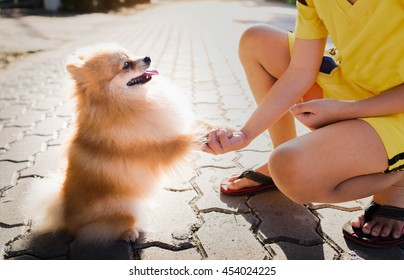 dog Pomeranian shaking hands with a person