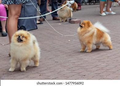 Dog pomeranian spitz on dogs exhibition