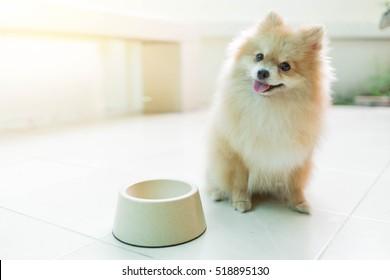 Dog pomeranian spitz smiling furry coat sitting in Home