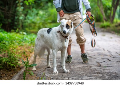 A dog pooch stands next to the mistress. White dog with black and brown spots. Green blurred background. Summer day.