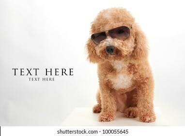 dog Poodle in dark sun glasses