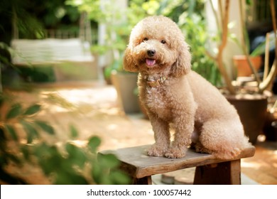 dog poodle in the garden