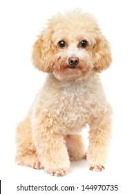 Dog poodle isolated on white background
