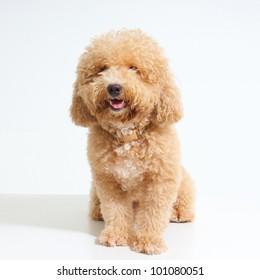 dog Poodle on White Background