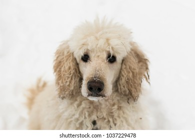 dog poodle in the snow