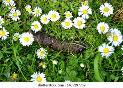Dog poop lying in the green grass surrounded by daisies