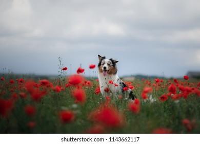 dog in a poppy field. Australian Shepherd in colors. active pet in nature