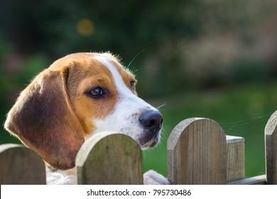 Dog Portrait - Beagle (17 weeks) looks over the fence