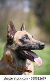 Dog portrait - Belgian Shepherd - Shutterstock ID 380812687