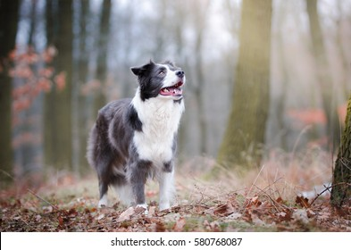 Dog portrait of border collie in the middle of the forrest