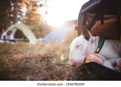 Dog portrait breed bullterrier in the nature - Shutterstock ID 1946785039
