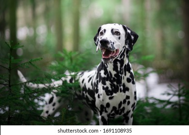 Dog portrait Dalmatian breed in the nature - Shutterstock ID 1691108935
