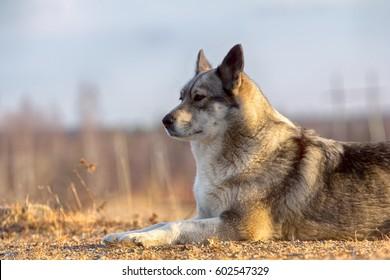 Dog portrait. East Siberian Laika (related breed husky) - hunting  gun dog, versatile hunting dog, for example bear-hunter