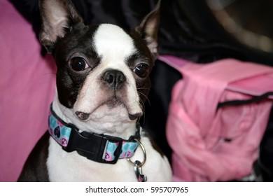 Dog portrait at dog exhibition show.